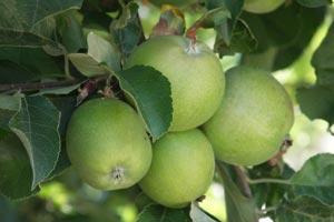 Como cuidar los rboles frutales de los insectos - Como se podan los arboles frutales ...