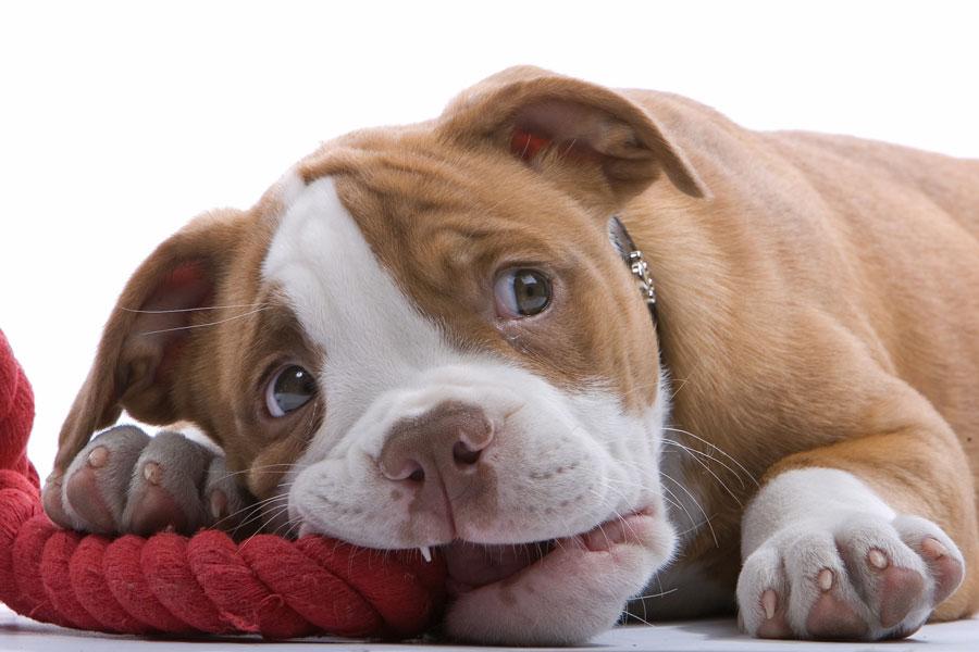Como evitar que el perro muerda todo