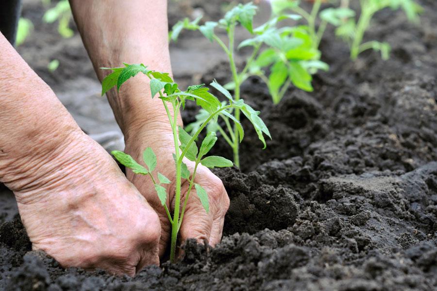 Guía para reproducir plantas por esquejes. cómo retirar, cortar y plantar esquejes. Pasos para reproducir plantas mediante esquejes
