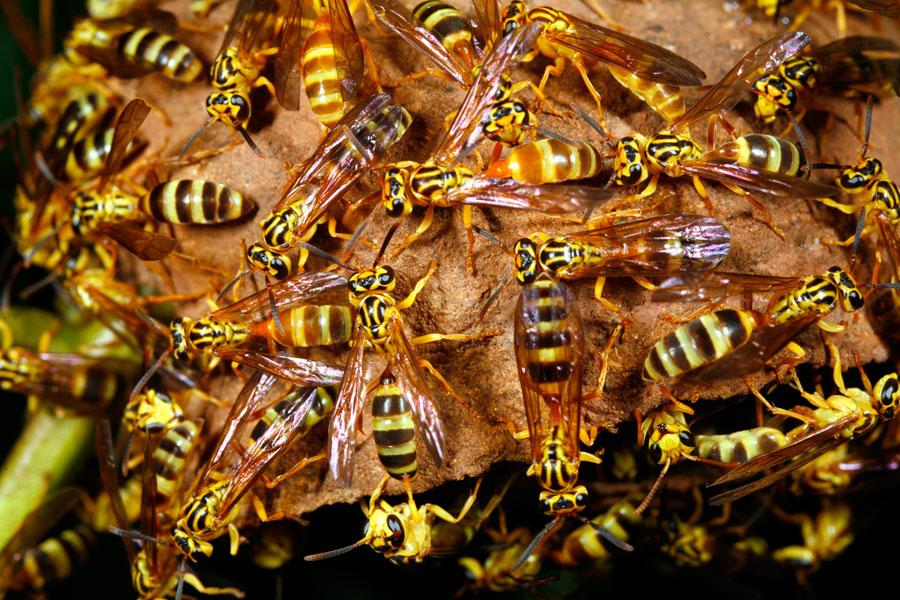 Métodos para eliminar un nido de avispas. Cómo ahuyentar las avispas o destruir su panal