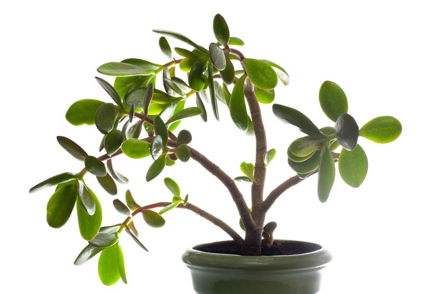 Tipos de planta la millonaria v rias - Plantas para atraer el dinero ...