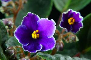 Consejos para cuidar una violeta africana. Características y secretos para cuidar una violeta africana.