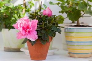 Consejos para cuidar una azalea. Cuidados y mantenimiento de una azalea. Cómo regar, plantar y cultivar una azalea
