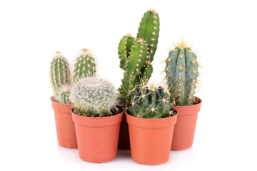 C mo cuidar los cactus - Como transplantar cactus ...