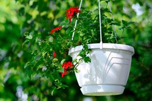 Consejos para cuidar las plantas colgantes. Como regar y cuidar las plantas colgantes. Características y mantenimiento de las plantas colgantes