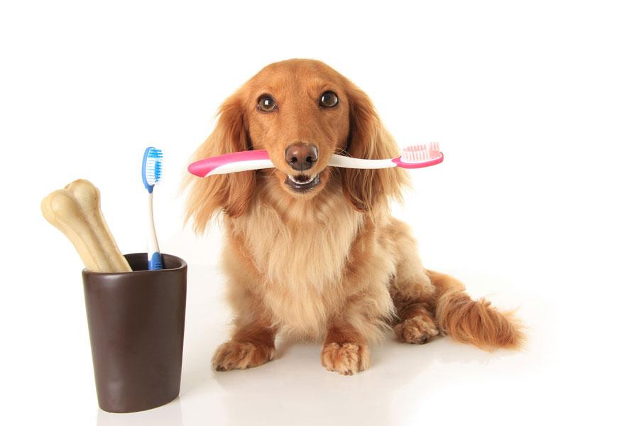 Cómo cepillar los dientes a los perros