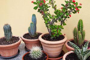 Cuando y como regar un cactus?