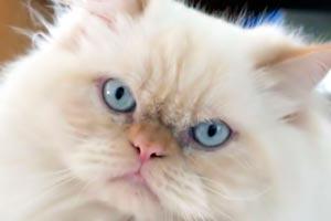 Cómo reconocer a un gato persa
