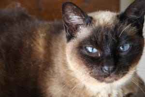 Cómo reconocer a un gato siamés