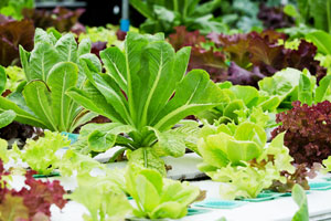 Guía para hacer jardines hidropónicos. Qué es un jardin hidropónico y como hacerlos en casa? Cuidado y mantenimiento de un jardin hidropónico