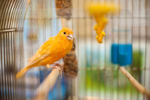 Como cuidar un canario. Consejos para el cuidado de un canario. Cómo elegir la jaula del canario