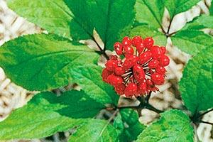 Que es el Ginseng - Beneficios