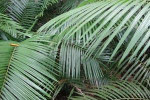 Consejos para cultipar palmeras de interior. Cómo cuidar y mantener las palmeras en el interior del hogar