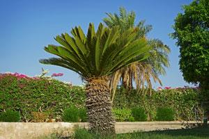 C mo regar y abonar palmeras de exterior - Variedades de palmeras de exterior ...