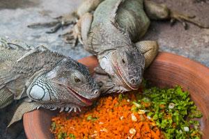 Cómo cuidar a una iguana. Tips para cuidar a una iguana de mascota. ¿Qué darle de comer a una iguana? Cómo tener una iguana de mascota
