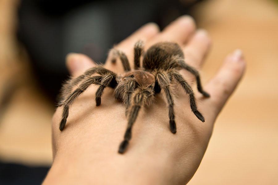 Cuidados de la araña pollito. Cómo tener una araña de mascota. Cuidados, alimentación y habitat de una araña como mascota.