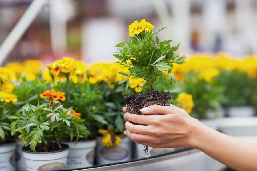 Los colores de las flores y sus influencias en el jardín. Cómo diseñar un jardín de acuerdo a los colores de las flores.
