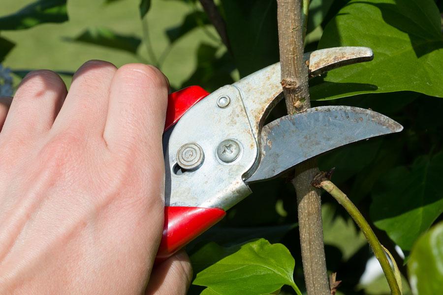 Procedimiento para cortar las plantas durante la poda. Cómo hacer el corte en las ramas y flores. Métodos para cortar las plantas al podar