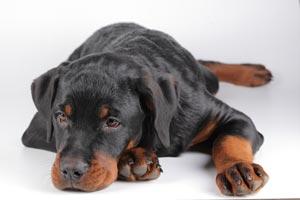 Tips para cuidar a un perro con piel seca. Qué hacer si tu mascota tiene piel seca? Guía para curar el pelaje del perro si tiene piel seca