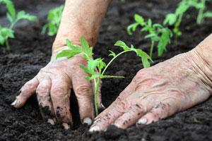 Cómo plantar tomate