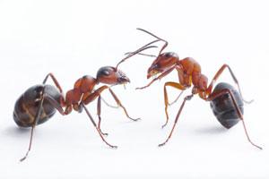 Remedios caseros para eliminar las hormigas de la cocina. Cómo combatir las hormigas. Trucos para ahuyentar a las hormigas de tu cocina