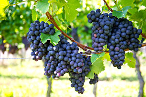 Cómo cultivar uvas