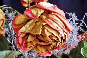Diferentes métodos para secar rosas. Cómo secar flores. Técnicas de secado de rosas. Métodos para secar las flores