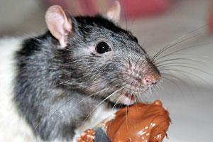 Remedios caseros para ahuyentar ratas - El mejor veneno para ratones ...