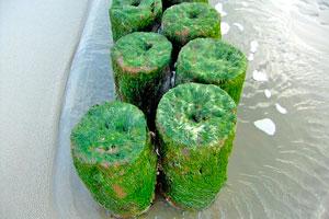Hay muchas algas comestibles, como el Alga nori, Alga espirulina, Alga dulse, Alga Hijiki, Agar-Agar y Alga Kombu