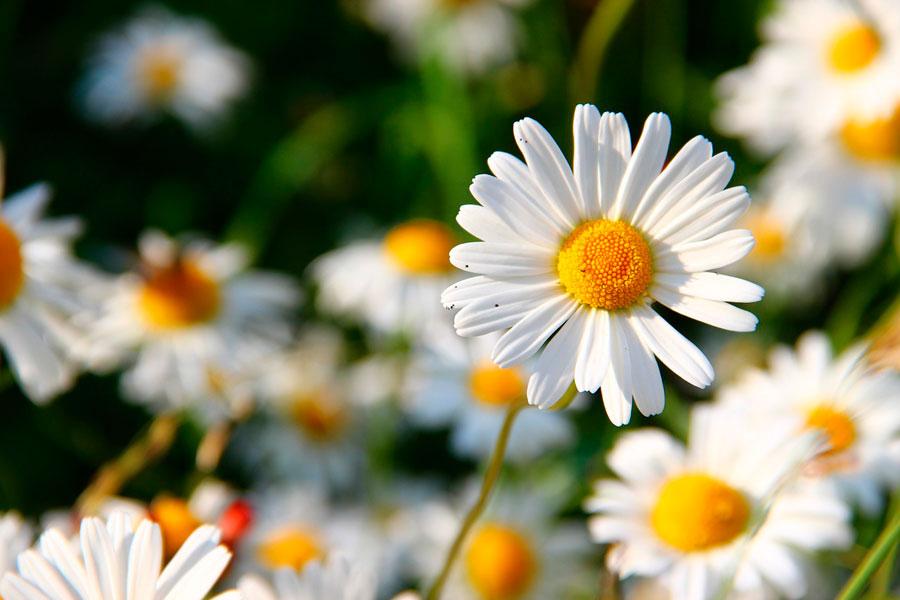 Consejos para seleccionar las flores del jardín. Qué especie de flores plantar en el jardin? Eligiendo las plantas con flores para el jardín