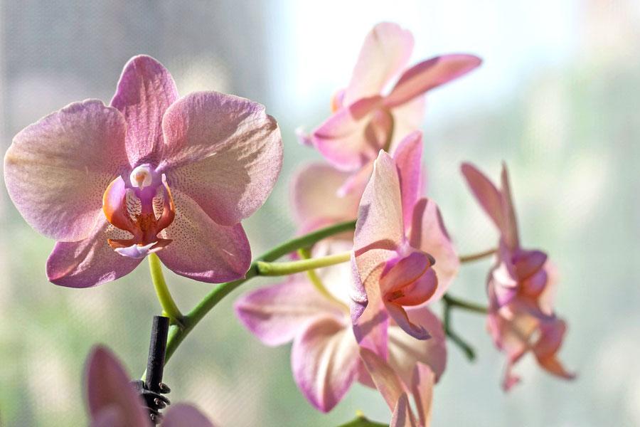 Orquideas imagenes - Cuidar orquideas en casa ...