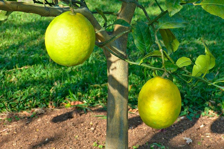C mo cultivar rboles frutales - Cuando plantar frutales ...