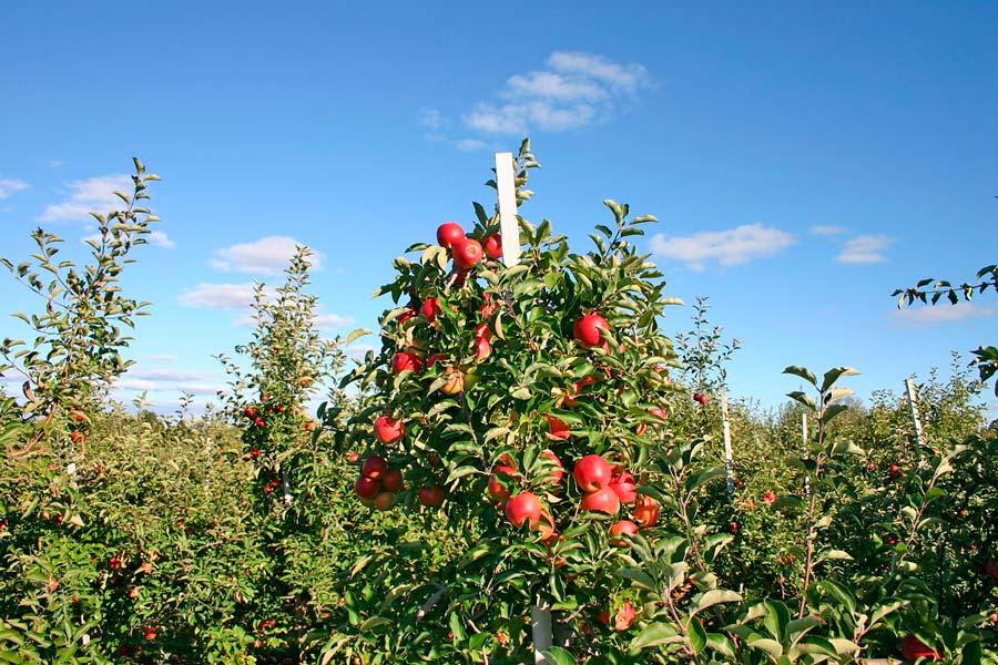 C mo cultivar rboles frutales - Como se podan los arboles frutales ...