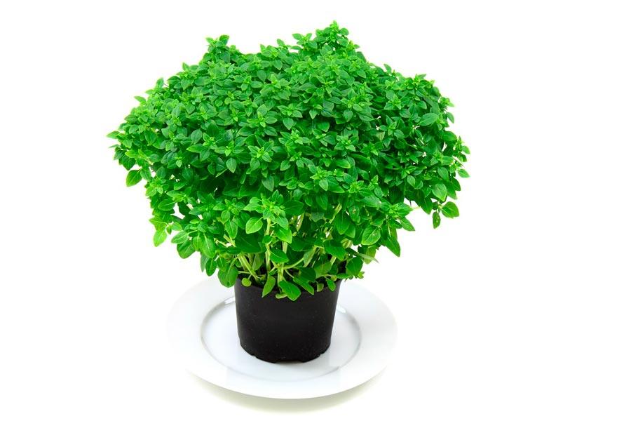 como cultivar plantas aromaticas: