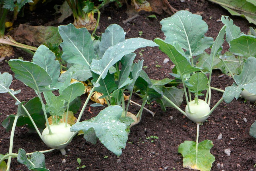 Guía par cultivar hortalizas en verano. Cómo armar una huerta en verano. Lista de especies para sembrar en verano