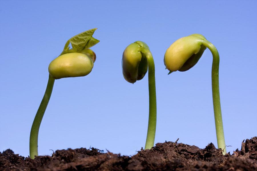 Pasos para germinar semillas de cítricos. Proceso de germinación de semillas. Guía para germinar naranjas, limón o pomelo
