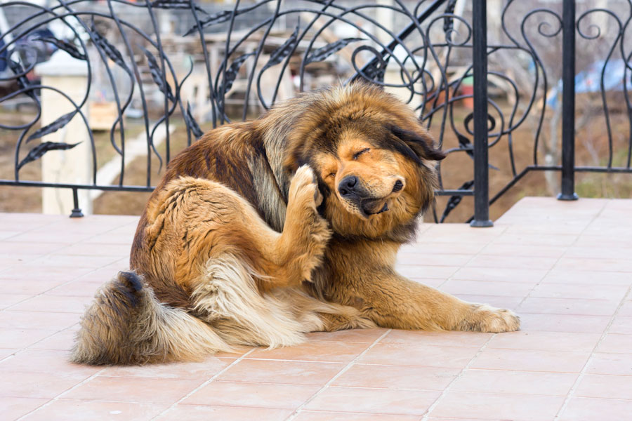 Consejos para cuidar la piel del perro. Claves para el cuidado de la piel de tu perro. Cómo cuidar el pelaje de tu mascota
