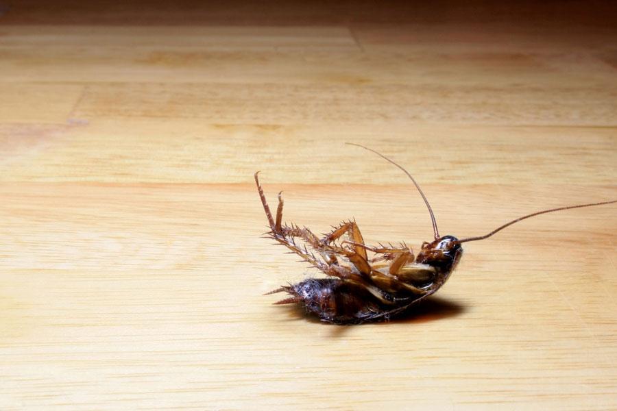 Matar las cucarachas con bicarbonato lavillapanamericana - Eliminar insectos en casa ...
