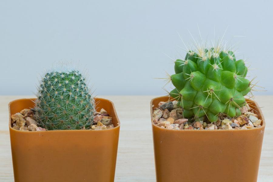 Cómo pintar piedras que se parezcan cactus. Cómo dibujar cactus en piedras. Método para decorar con piedras simulando cactus.