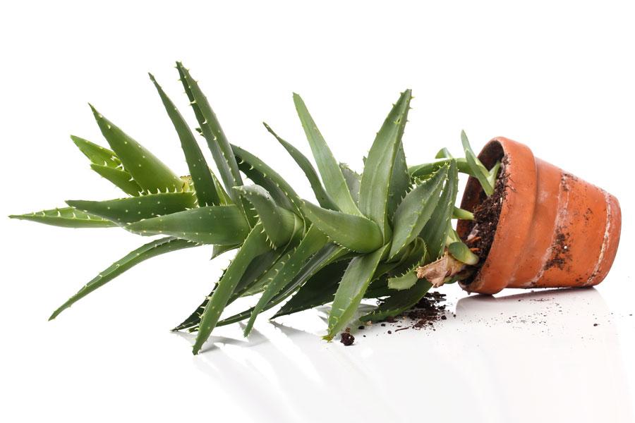 Cómo plantar aloe vera. Consejos para la reproducción del aloe vera. Tips para plantar y cuidar el aloe vera