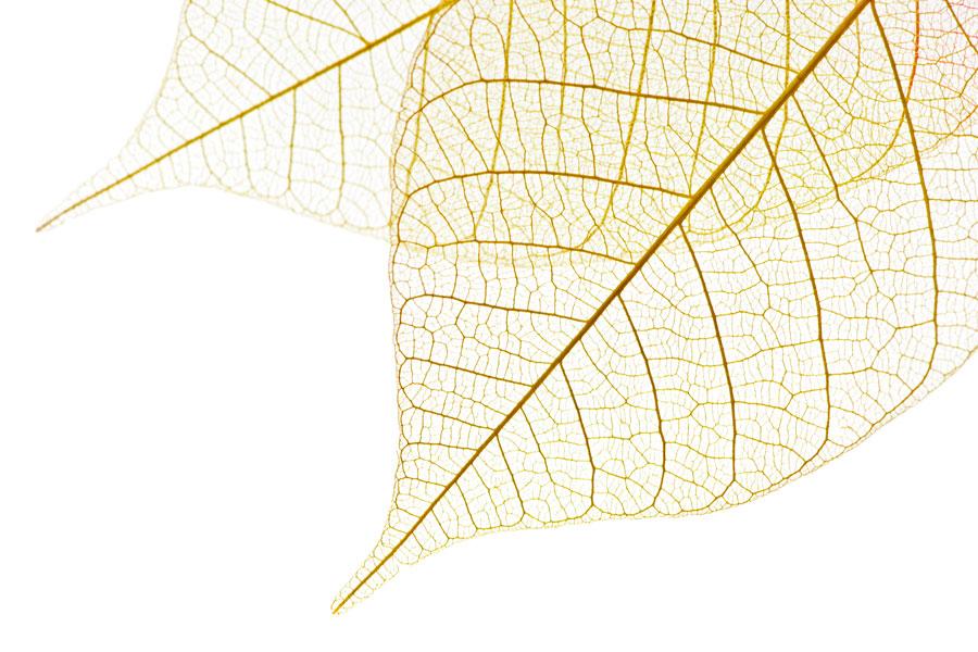 Cómo crear esqueletos de hojas. Pasos para hacer esqueletos de hojas. Manualidades con esqueletos de hojas
