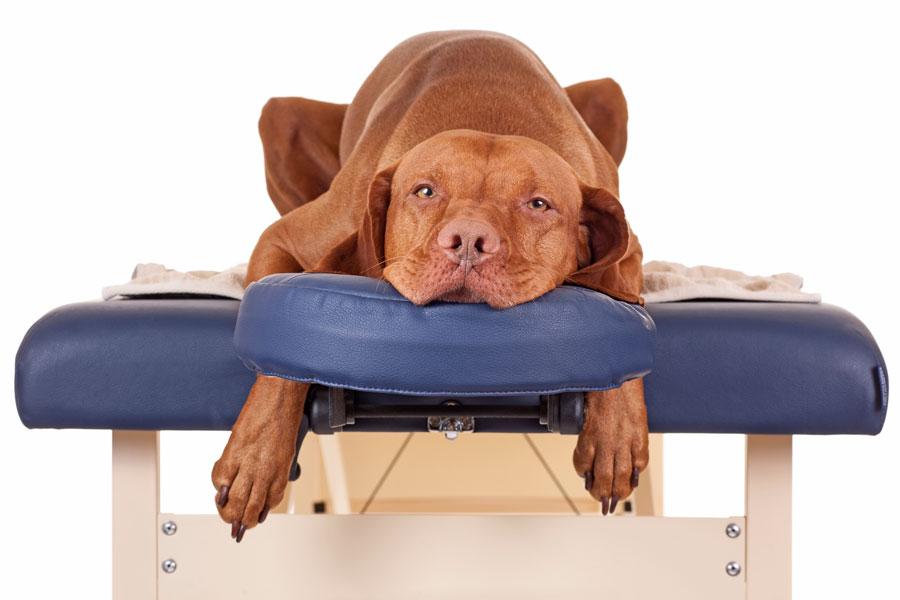 Cómo hacer masajes terapéuticos para animales. Masaje Sui Kuaii para perros. Tratamiento de masajes para mascotas. Cómo hacer masajes a un perro