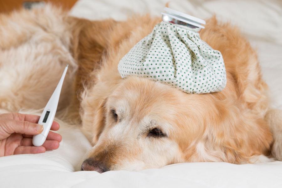 Método para hacer vomitar a un perro. Cómo provocar vómito a un perro. Técnica para hacer que el perro vomite. Qué hacer si un perro come veneno