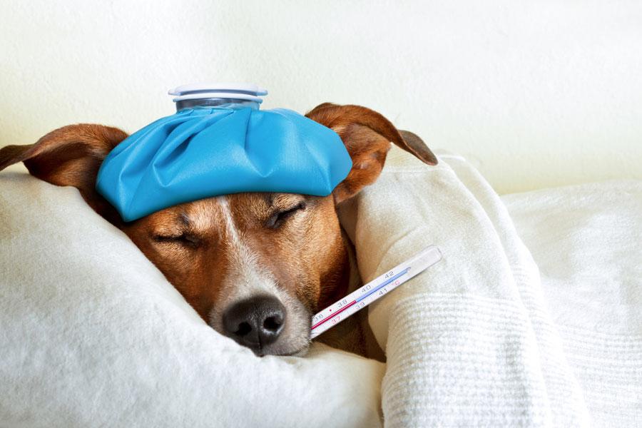 Cómo darle medicamentos al perro. Técnicas para medicar a un perro. Cómo darle la medicina a un perro. Cómo hacer que el perro tome una píldora