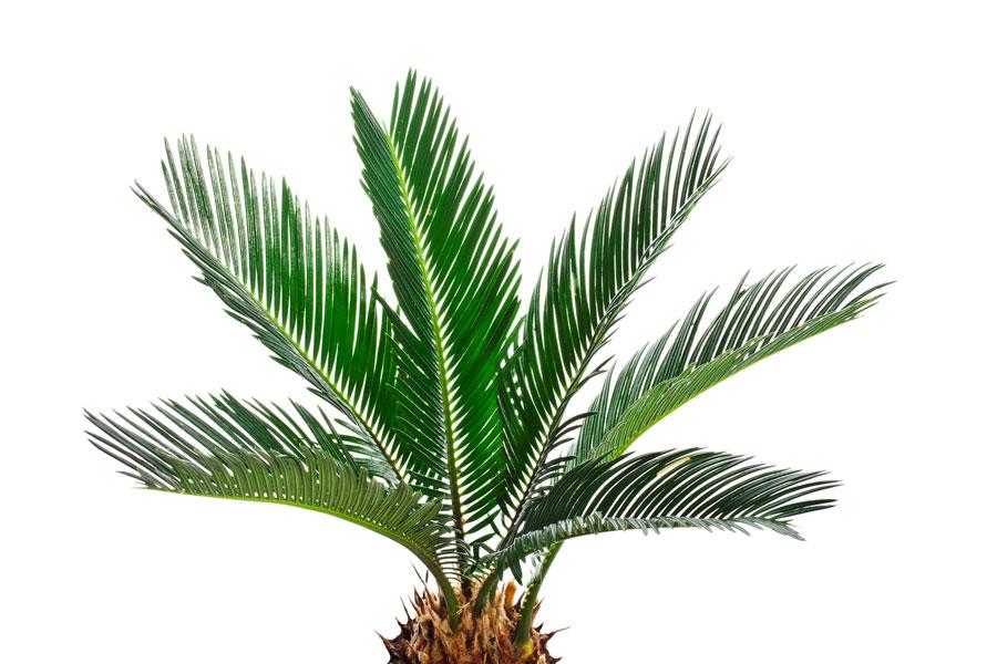 C mo plantar palmeras for Plantas de interior tipo palmera